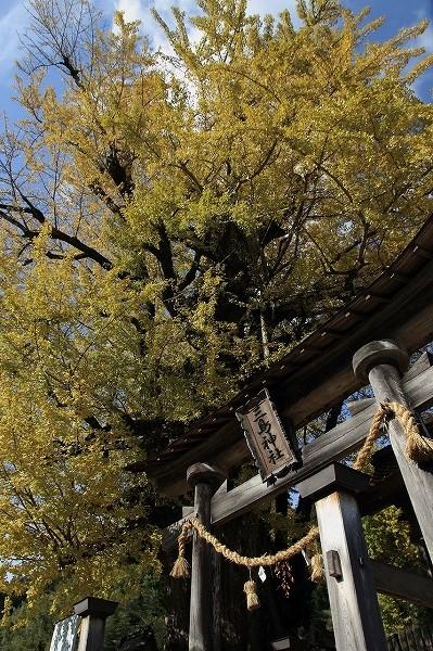 小田中川・三島神社銀杏紅葉 141123 003