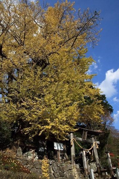 小田中川・三島神社銀杏紅葉 141123 001