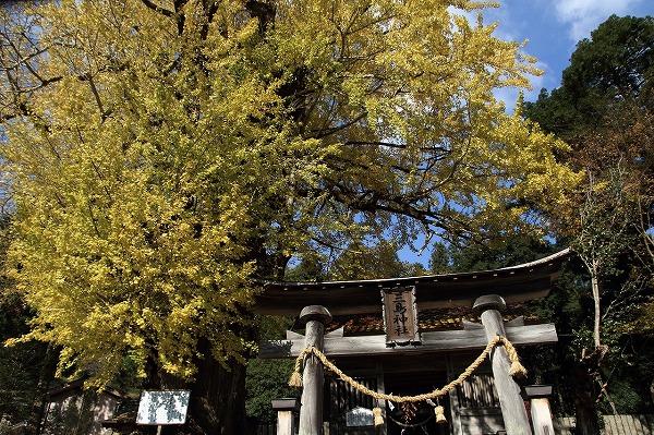 小田中川・三島神社銀杏紅葉 141123 004