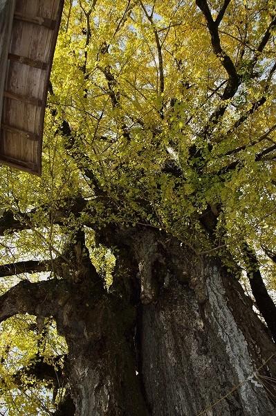 小田中川・三島神社銀杏紅葉 141123 006