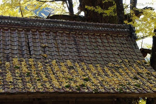 小田中川・三島神社銀杏紅葉 141123 008