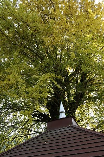 小田上川・薬師堂の銀杏紅葉 141123 007