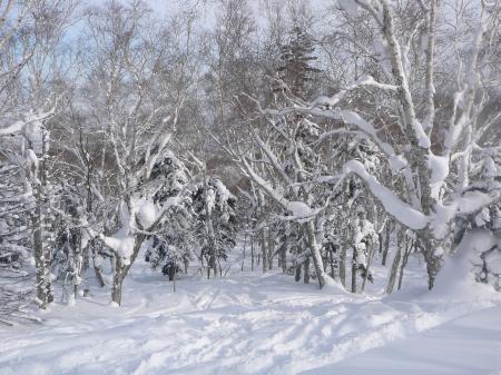 深雪の岳樺の木々の間を滑りまくり