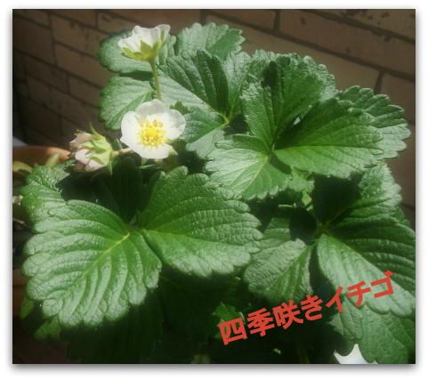 秘密 四季咲きイチゴ