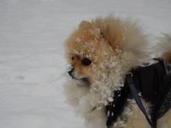 歩くの嫌いなラッセル犬