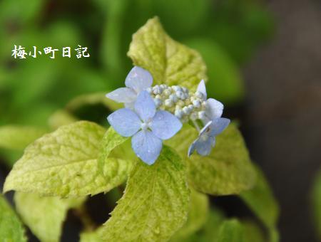山アジサイ「伊予錦」