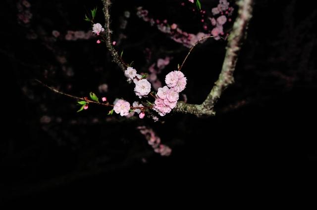 夜の梅林桃2