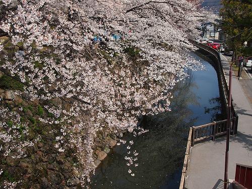 シガバゲと桜10