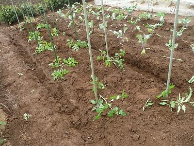 露地に植えたミニトマト
