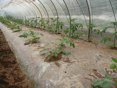 ビニールトンネルに植えたミニトマト