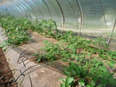 定植2週間後のミニトマト