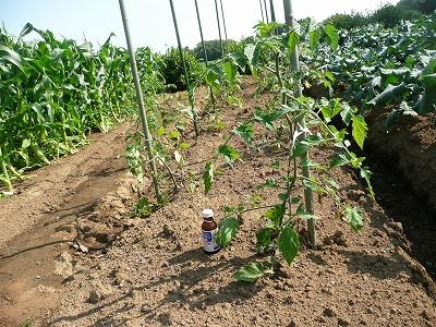 定植一ヶ月後の露地トマト