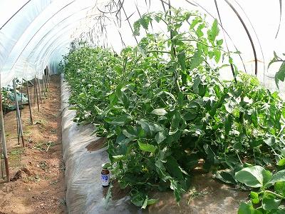 定植一ヶ月後のトンネルトマト