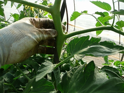 トンネルトマトの茎