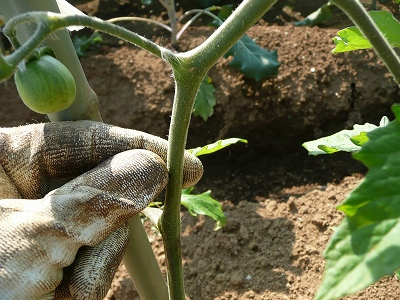 露地トマトの茎