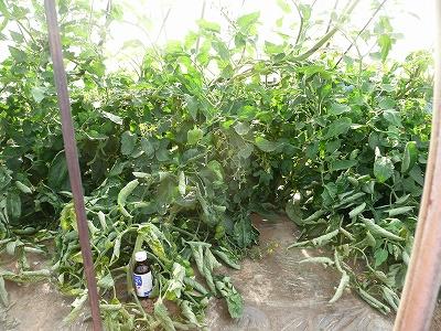 トンネル栽培のミニトマト