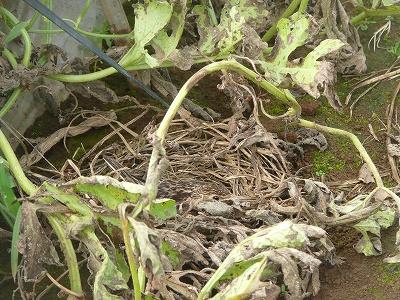 ひばりの巣と親鳥