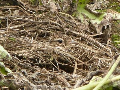 ひばりの巣と親鳥 取り直し