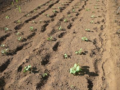 種蒔きから数日後の枝豆