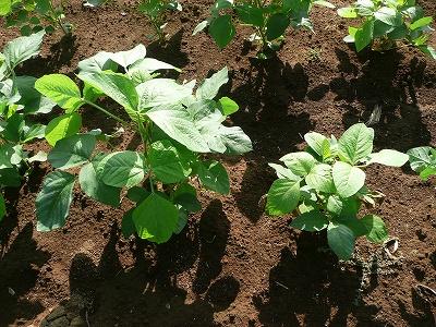 普通に育った枝豆と補植した枝豆