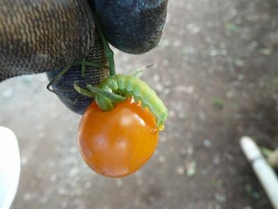ミニトマトを食べる芋虫