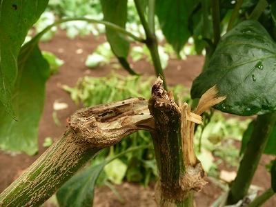 枝が折れたピーマン・ズーム