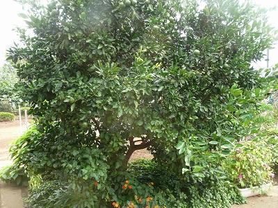 庭に生えたみかんの木