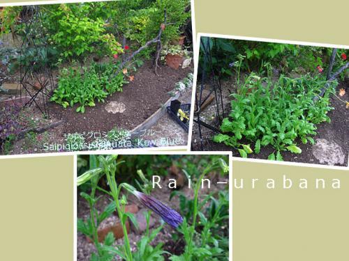 サルピグロシス・キーブルー植えました (⌒ ⌒)