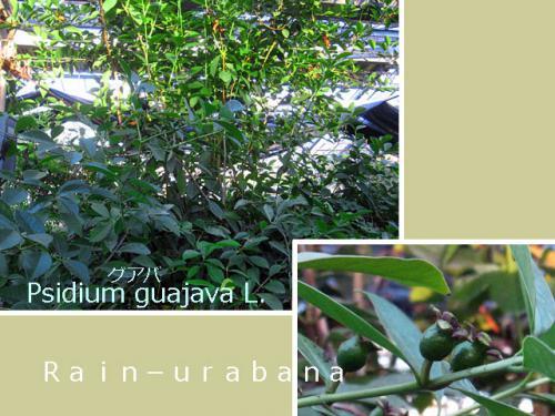 温室の中にはグアバが生えてる ククク