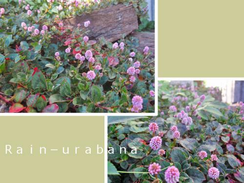 ヒメツルソバ咲き始めました