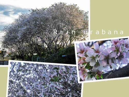 ヒガン桜の何だろ?