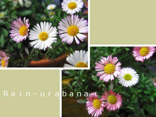 花色が楽しい品種です♪