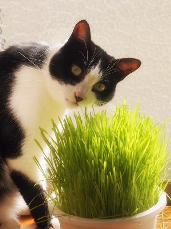 ネコ草を食べるジロー