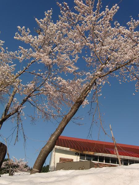 雪の中で満開の桜