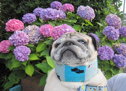 チッチの顔ほどある紫陽花の花