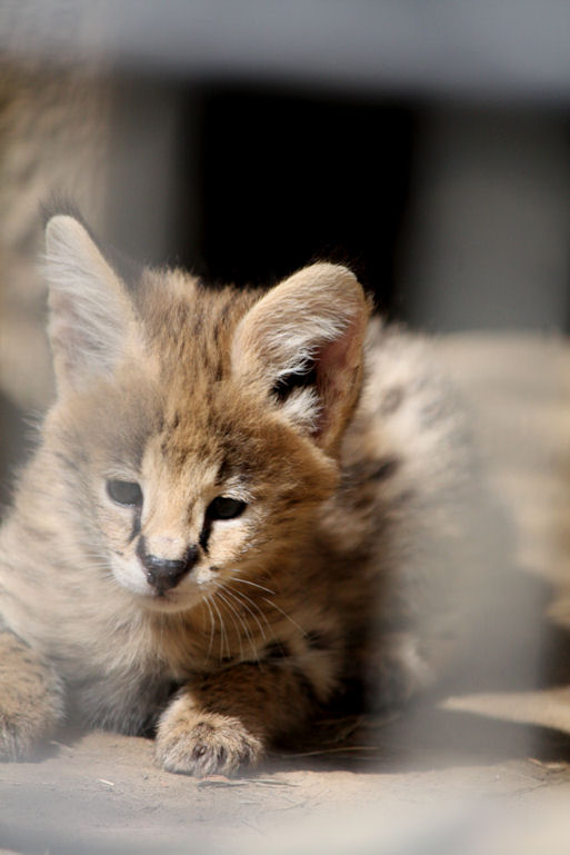 '12.8.3 serval 0414