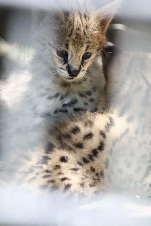 '12.8.3 serval 0408
