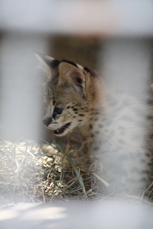 '12.8.3 serval 0467