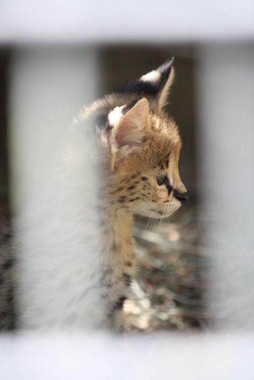 '12.8.3 serval 0488