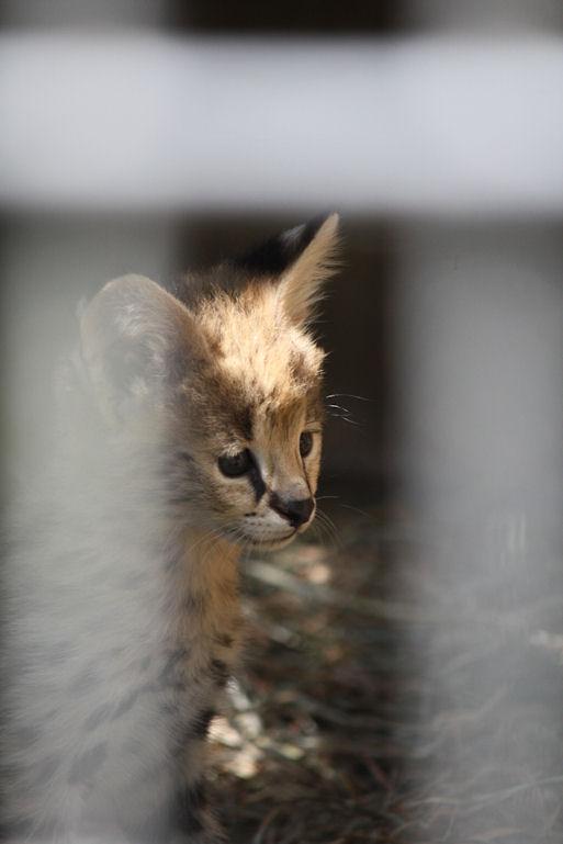 '12.8.3 serval 0483