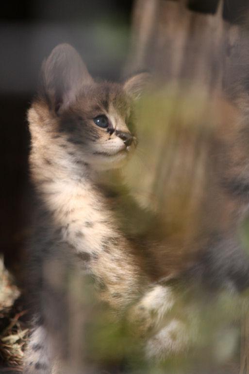 '12.8.3 serval 0473
