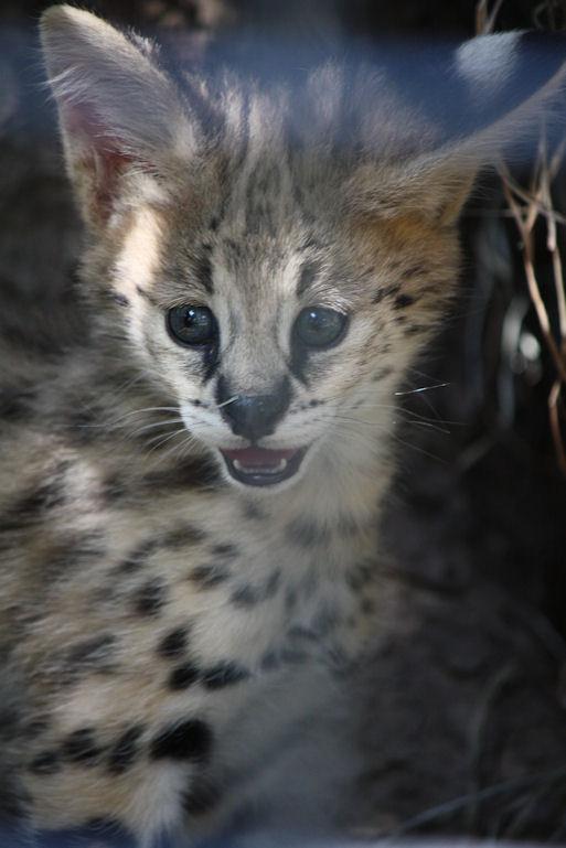 '12.8.3 serval 0497
