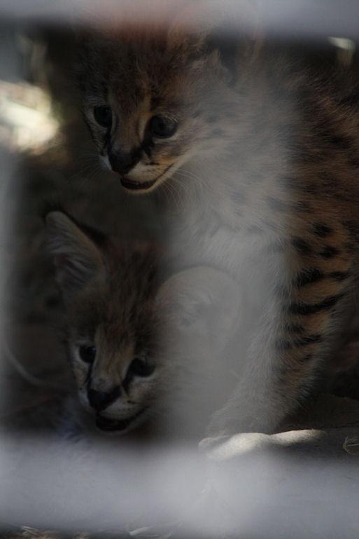 '12.8.3 serval 0554