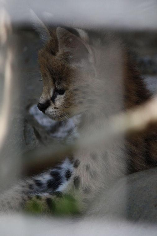 '12.8.3 serval 0653