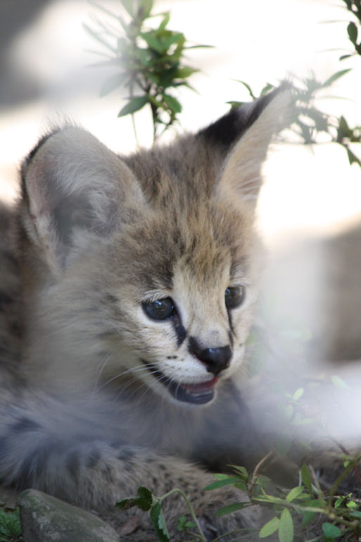 '12.8.3 serval 0587