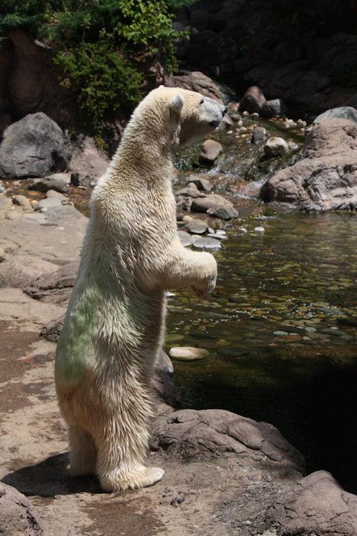 '12.8.5 polar bear 0183