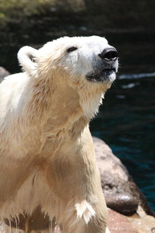 '12.8.5 polar bear 0149