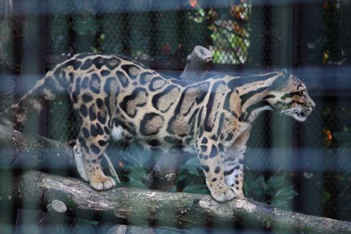 '12.8.5 clouded leopard 0764