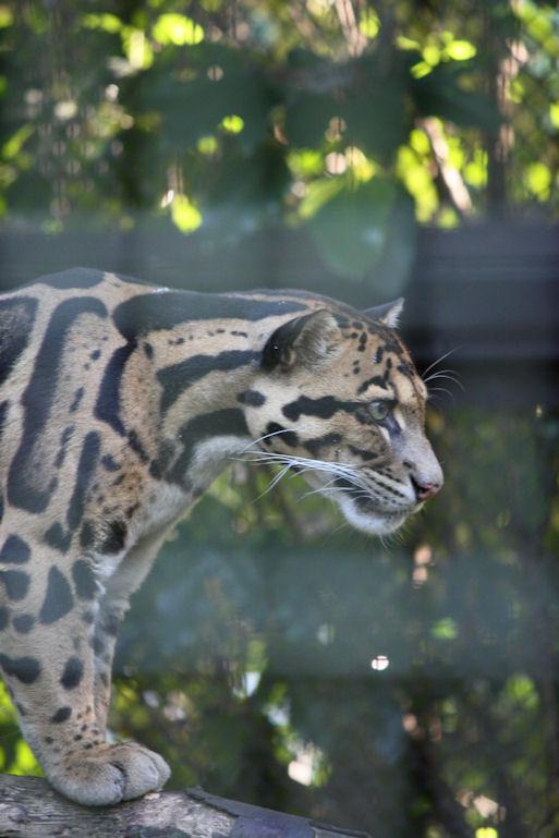 '12.8.5 clouded leopard 0590