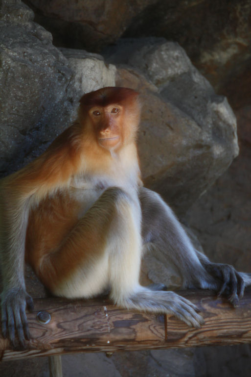 12.8.5 proboscis monkey 0288